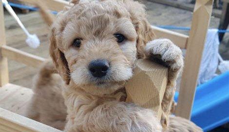 Uddannelse og træning af terapihunde